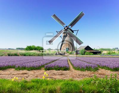 Paisaje con molino de viento holandés tradicional con jacinto floreciente tradicional archivado, Países Bajos
