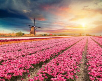 Cuadro Paisaje con tulipanes, molinos de viento holandeses tradicionales y casas cerca del canal en Zaanse Schans, Países Bajos, Europa