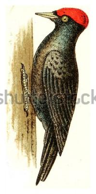 Cuadro Pájaro carpintero negro, vintage ilustración grabada. De Deutch Birds of Europe Atlas.