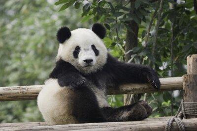 Cuadro panda