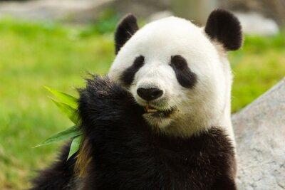 Cuadro Panda bear eating bamboo