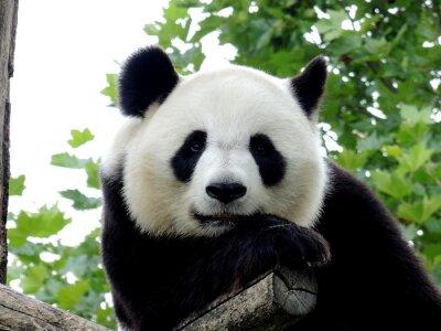 Cuadro Panda Géant 7
