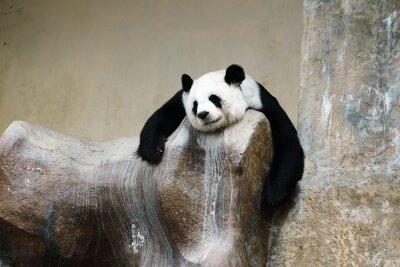 Cuadro panda oso de descanso