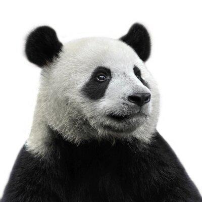 Cuadro Panda peluche aislado en el fondo blanco