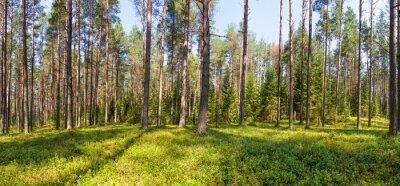 Cuadro Panorama de bosque de pino de verano