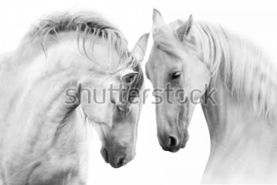 Cuadro Pares de los caballos blancos en el fondo blanco. Imagen clave alta