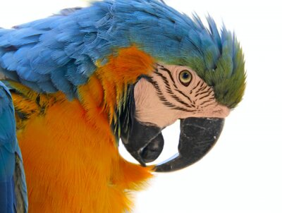 Cuadro parrot bird animal  head