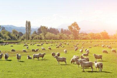 Cuadro Pastura con animales en verano día soleado en Nueva Zelanda