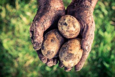 Cuadro Patatas maduras en las manos