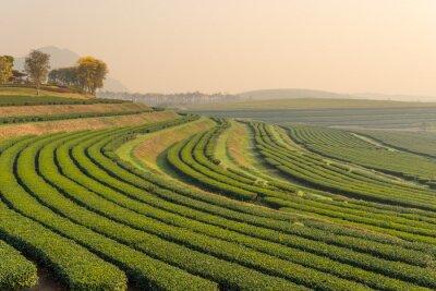 Cuadro Patrón de granja de té verde en la mañana