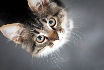 Cuadro Pequeño gatito mullido en un fondo gris