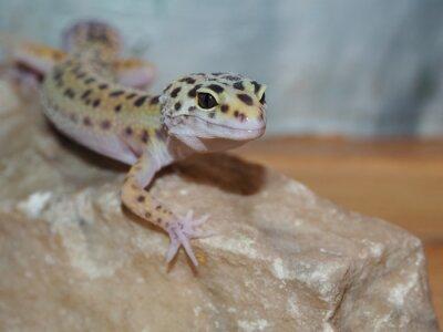Cuadro Pequeño gecko del leopardo en una piedra. de cerca