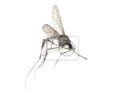 pequeño mosquito aislado en blanco