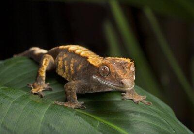 Cuadro Perfil del lado del gecko con cresta