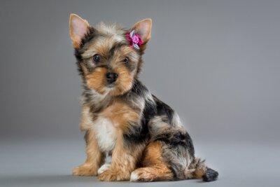 Cuadro Perrito Yorkshire terrier