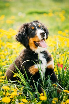 Cuadro Perro de montaña de Bernese o perrito de Berner Sennenhund que se sienta en verde