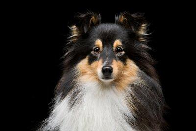 Cuadro Perro de Sheltie
