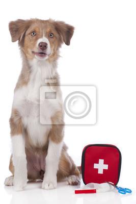 Perro pastor australiano con equipo de emergencia aislado pinturas ... 4c8b03484b2
