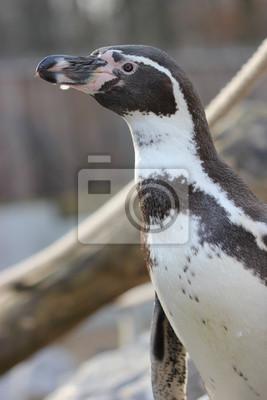 Pingüino de Humboldt en el zoológico Sababurg