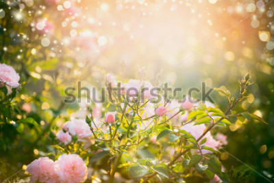Cuadro Pink pale roses bush over summer garden or park nature background. Roses garden, outdoor with sunshine and bokeh