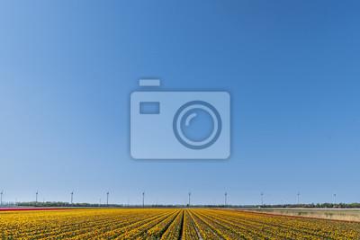 Plantación holandesa de la granja del bulbo de los tulipanes del rojo anaranjado bajo un cielo azul soleado en tiempo de primavera