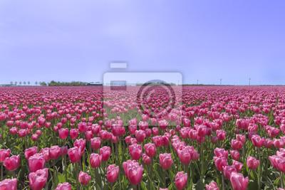Plantación holandesa de la granja del bulbo de los tulipanes rojos púrpuras debajo de un cielo azul soleado en tiempo de primavera