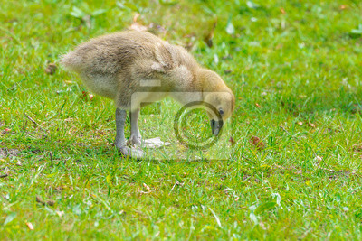 polluelos de ganso silvestre pollos jóvenes - Anser anser
