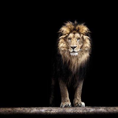 Cuadro Portrait of a Beautiful lion, lion in the dark