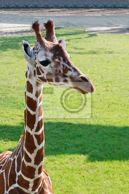 Portrait of an young Girafe