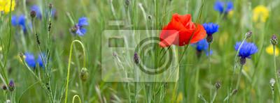 Prado de la flor con amapolas y acianos