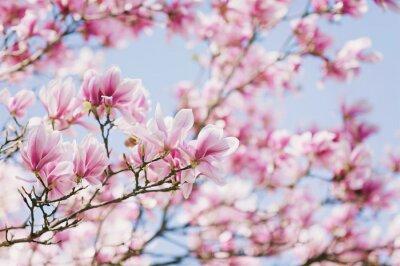 Cuadro ¡Primavera! Magnolia floreciente