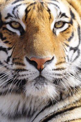 Cuadro Primer disparo Retrato de un tigre de Bengala