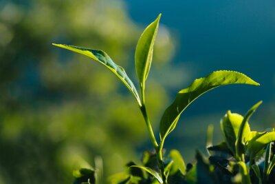 Cuadro Primer plano de hojas de té fresco verde en la plantación.