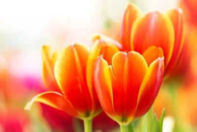 Cuadro Primer plano flor de tulipán naranja en la naturaleza