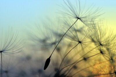 Cuadro Puesta del sol y el diente de león de oro, fondo zen de meditación