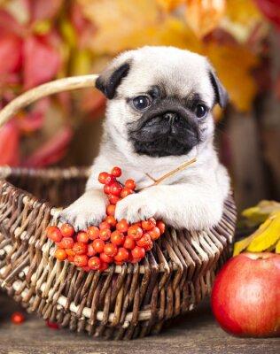 Cuadro pug puppy