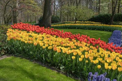 Pure red and pink white color tulips blossom blooming under a very well maintained garden in spring time