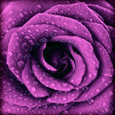 Cuadro Púrpura oscura rosa de fondo