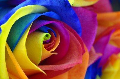 Cuadro Rainbow rosa o una flor feliz