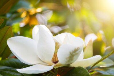 Cuadro Rama con una flor de una magnolia blanca cerca