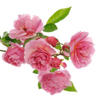 Cuadro Rama de rosa escalada rosa