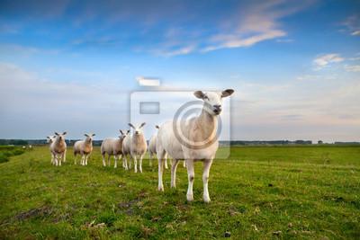 rebaño de ovejas en los pastos