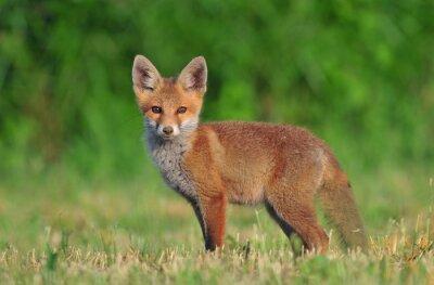Cuadro Red fox cub