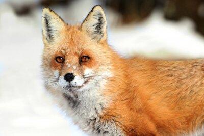 Cuadro Red Fox (Vulpes)