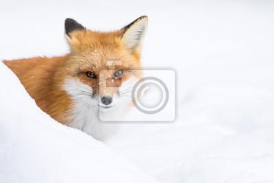 Cuadro Red Fox, Vulpes Vulpes, mirando desde detrás de un banco de nieve