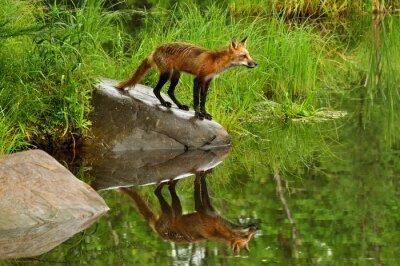 Cuadro Red Fox y waterreflection rodeados de verde.