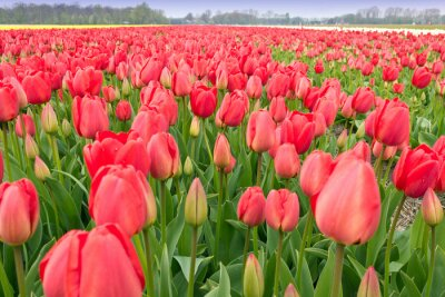 Red Tulip Bulbs Granja en tiempo de primavera