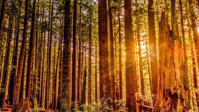 Cuadro Redwood Sun