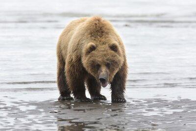 Cuadro Retrato de oso pardo salvaje libre de itinerancia