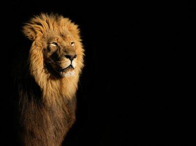 Cuadro Retrato de un león africano masculino grande (Panthera leo) contra un fondo negro, Suráfrica.